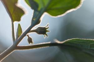 Auberginen ernten und vegetarisch kochen: gesunde und nachhaltige Ernährung aus dem eigenen Garten. Auberginenblüte im Anfangsstadium im Gegenlicht