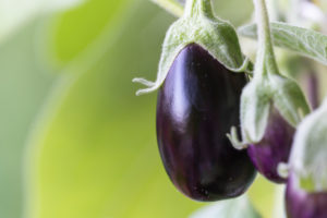 Harvesting aubergines and cooking them vegetarian: healthy and sustainable nutrition from your own garden. Three eggplants, close-up.