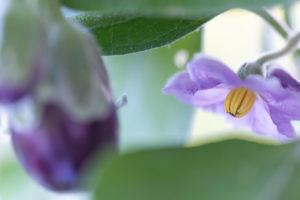 Auberginen ernten und vegetarisch kochen: gesunde und nachhaltige Ernährung aus dem eigenen Garten. Fokus auf Auberginenblüte; Aubergine unscharf im Vordergrund.