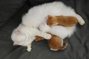 white longhair cat nurses her three kittens