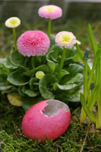 daisy, Bellis perennis, with Easter egg,