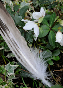 Eagle feather on evergreen plants in front of white Christmas rose and ivy