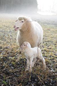 Ewe close lamb on meadow in the morning haze