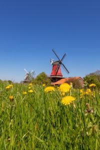 Meadow, dandelion, twin mills in Greetsiel, East Frisia,