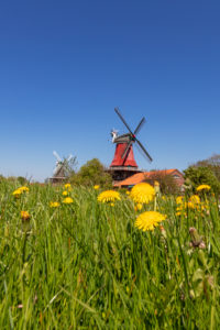 Meadow, dandelion, twin mills in Greetsiel, East Frisia,