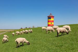 Sheep, Pilsum lighthouse, Pilsum, East Frisia,
