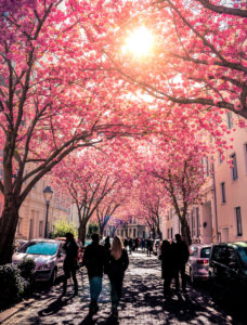 Blossoming Japanese cherry trees, Heerstrasse, Bonn, North Rhine-Westphalia, Germany