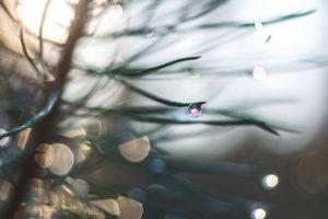 Dew on fir needles, close up