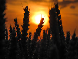 A grain field in the sundown, close up