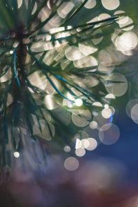 Dew at fir needles, close up