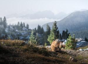 Ein Murmeltier vor Gebirgsketten die aus einem Nebelmeer im Tal hervorragen in der Nähe von Cinque Torri in den Dolomiten, Südtirol, Italien