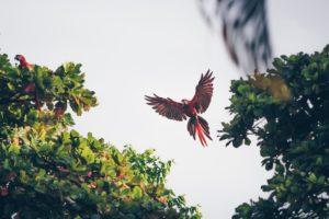 Aras beim Frühstück in den Morgenstunden nahe des Corcovado Nationalpark in Puerto Jimenez, Costa Rica