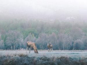 Elk family at Skibotn, Norway in sunrise
