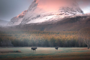 Elk family at Skibotn, Norway in sunrise