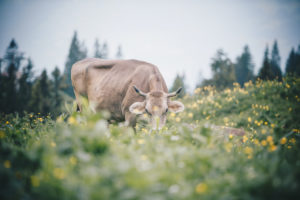 An alpine cow looks directly into the camera surrounded by mountain flowers in Austria. Trees can be seen out of focus in the background