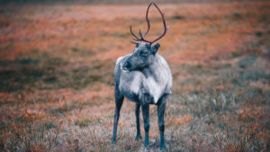 A young reindeer in an autumn meadow looks to the left at Kilpisjärvi, Finland