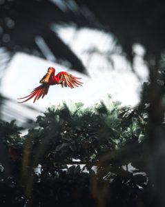 Ara in Puerto Jimenez, Costa Rica im Flug durch Blätter und Bäume fotografiert, natürlicher Rahmen