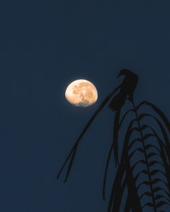 Bird in Costa Rica on a branch apparently looks at the moon in the background