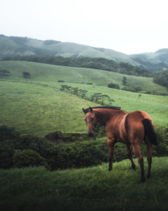 A wild, brown horse in the farmed plateaus of the inland of Costa Rica