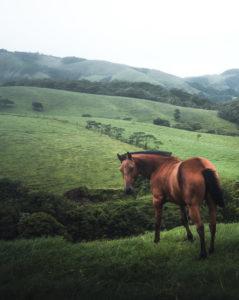 Ein wildes, braunes Pferd in den bewirtschafteten Hochebenen des Inlands von Costa Rica