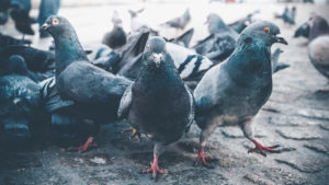 A group of pigeons in Amsterdam, the Netherlands