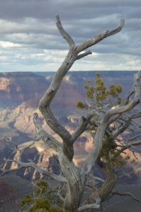 Nearly two billion years of Earth's geological history can be seen at Grand Canyon National Park, Arizona. Canyon photographed with dead tree. UNESCO World Heritage Site