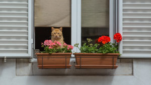 Cat in the window behind flower boxes