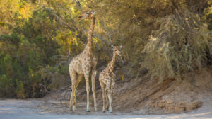 Giraffes in the Purros area