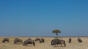 Wildebeest herd in the Etoshe pan