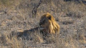 Löwe in der Etoscha Pfanne