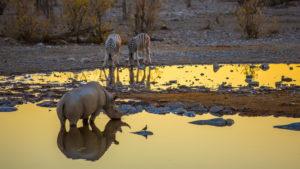Nashorn und Zebras am Wasserloch