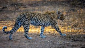 Leopard in der AfriCat FOundation