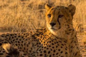 Gepard in der AfriCat Foundation