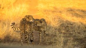Geparde in der AfriCat Foundation