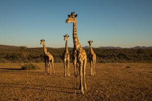 Giraffen bei Windhoeck