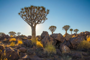 Quiver Tree Forest at Keetmanshoop