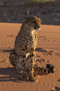 Gepard in den Tiras Mountains bei dem Kanaan Na'an ku se Desert Retreat