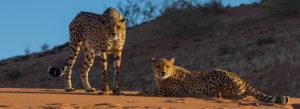 Geparde in den Tiras Mountains bei dem Kanaan Na'an ku se Desert Retreat