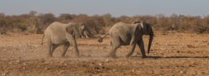Zwei Elefanten am Weg zum Wasserloch
