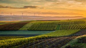 Goldener Oktober in Rheinhessen,  Weinanbau in Hügellandschaft bei Vendersheim,