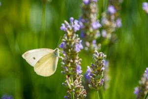 Schmetterling saugt Nektar an Lavendelblüten