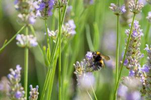 Hummel saugt Nektar an Lavendelblüten