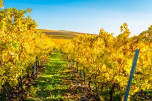 Herbststimmung in Rheinhessen, Goldener Oktober, Weinberg bei  Vendersheim,