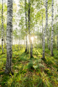 Birches, forest, back light, sun, summer, tree, green, light, mood,