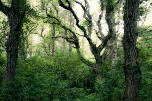Alte Eichen und Rhododendron im Ards Forest Park, Donegal, Irland