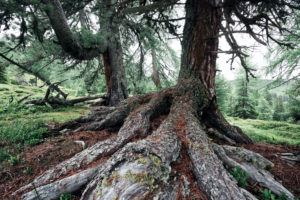 Ancient trees at the timber line in the Nock Mountains, biosphere park Gurktal Alps, Carinthia, Austria