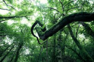 Bemooster Ast in Form einer Spirale im Glengarriff Forest, Irland