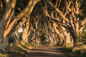Golden Hedges alley in Northern Ireland in early morning light