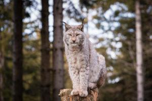 Luchs, Lynx, Raubtier (Carnivora) Bayern, Deutschland, Europa