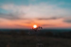 Sunset, yarrow, Achillea, daisy family, Asteraceae, Swabian Jura, Baden-Wuerttemberg, Germany, Europe